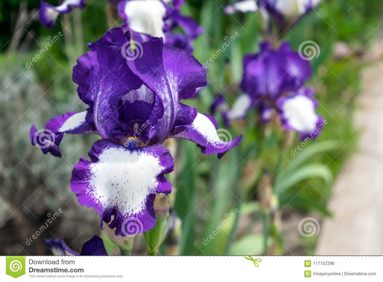 Close up view of an iris flower on background of green leaves an close up view of an iris flower on background of green leaves an izmirmasajfo