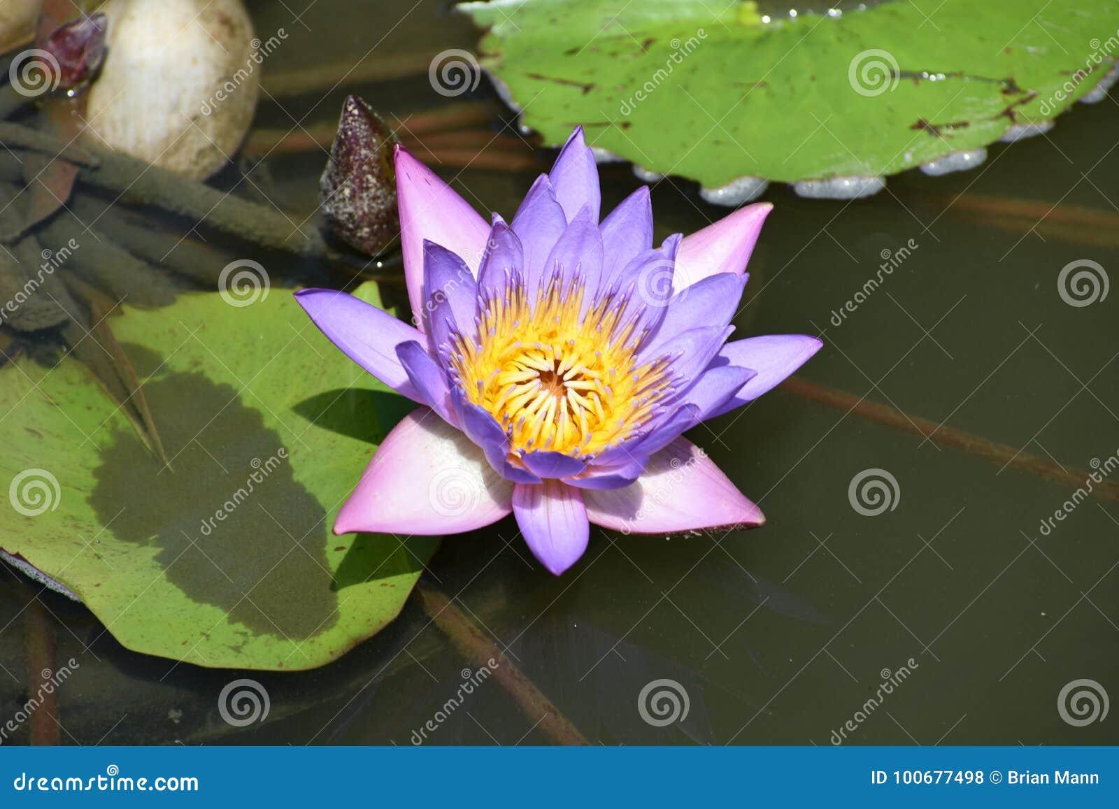 Purple Or Blue Lotus Flower Stock Photo Image Of Herbal Beauty
