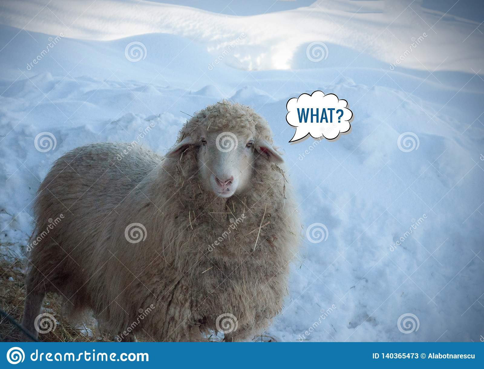 Close up view of a looking sheep in winter day. Looking cool sheep and `What?` message meme