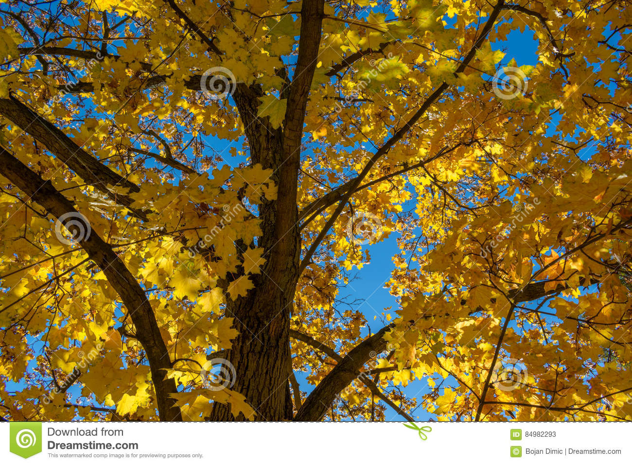 Close up view of maple tree with yellow leafs