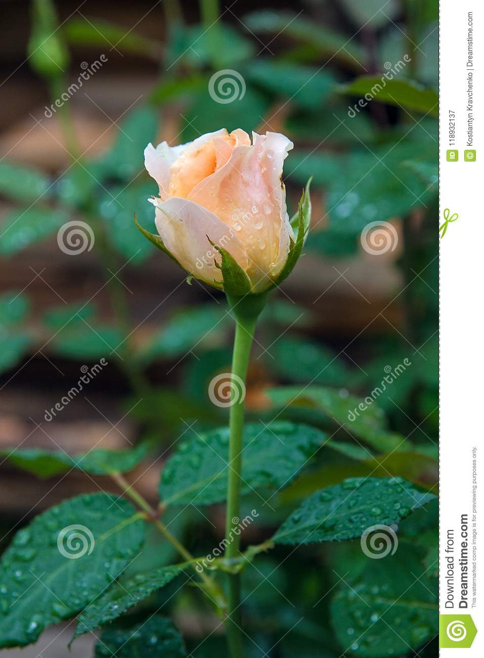 Close Up View Of Natural White Rose Flower On Green Bush After R