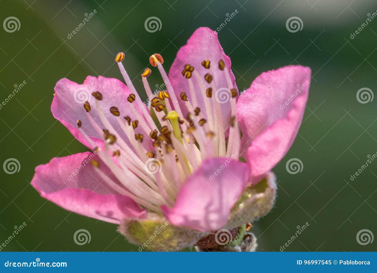 Peach blossom flower
