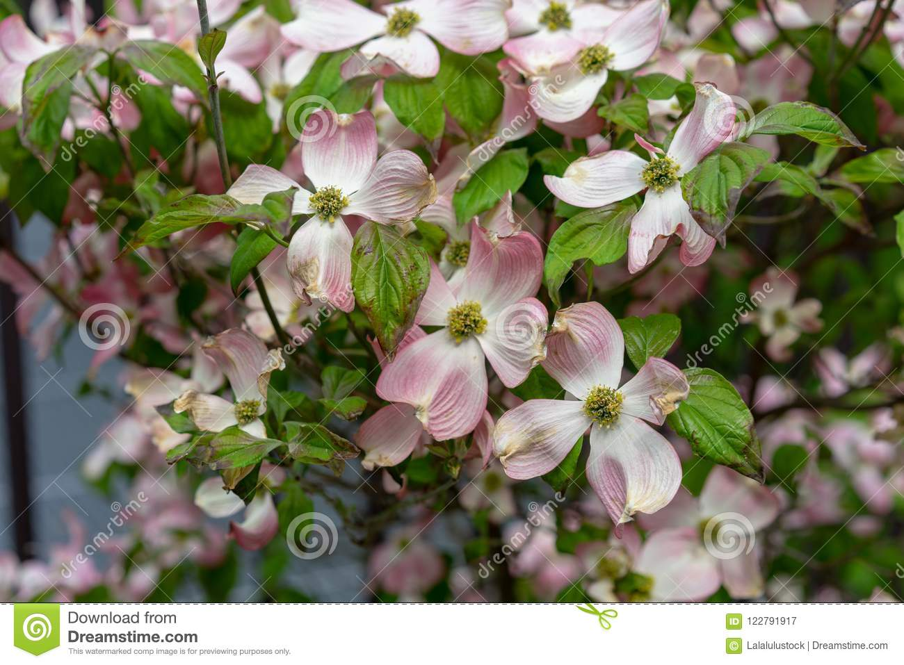A Close Up View Of Pink Dogwood Flowers Cornus Florida Rubra Stock