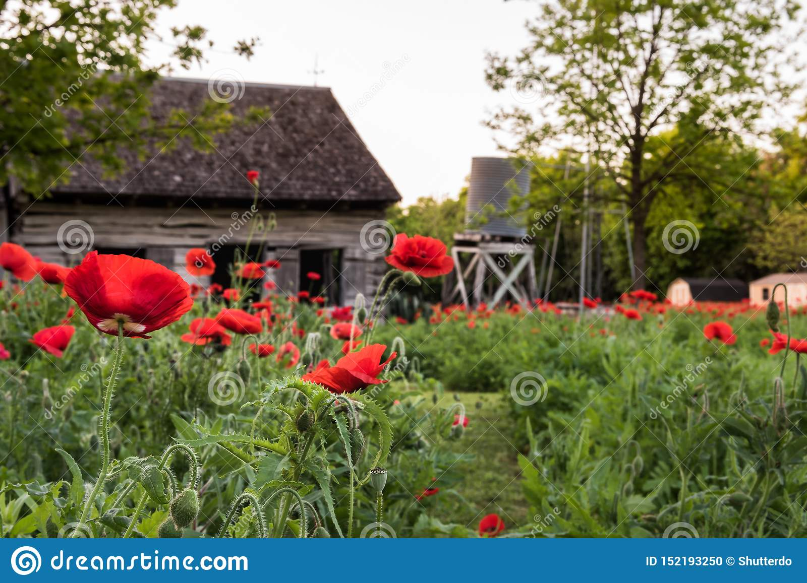 Close up view of red poppies with old shed and water tank