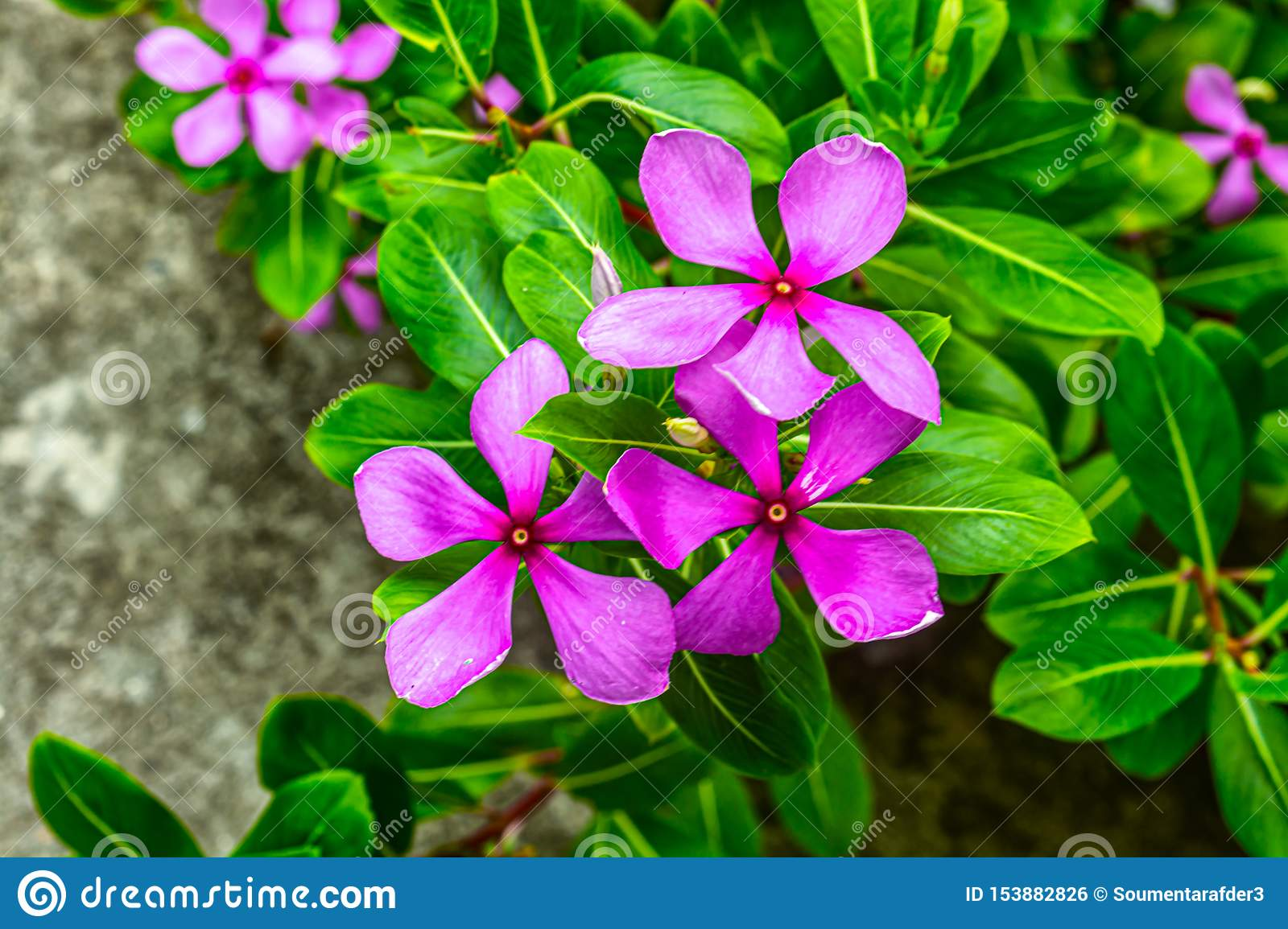 Close Up View Of Three Pink Color Catharanthus Roseus Or ...