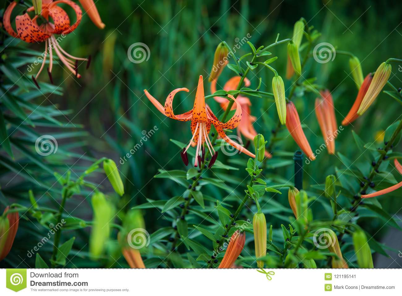 Close Up View Of The Tiger Lily Garden Stock Image Image Of Grow