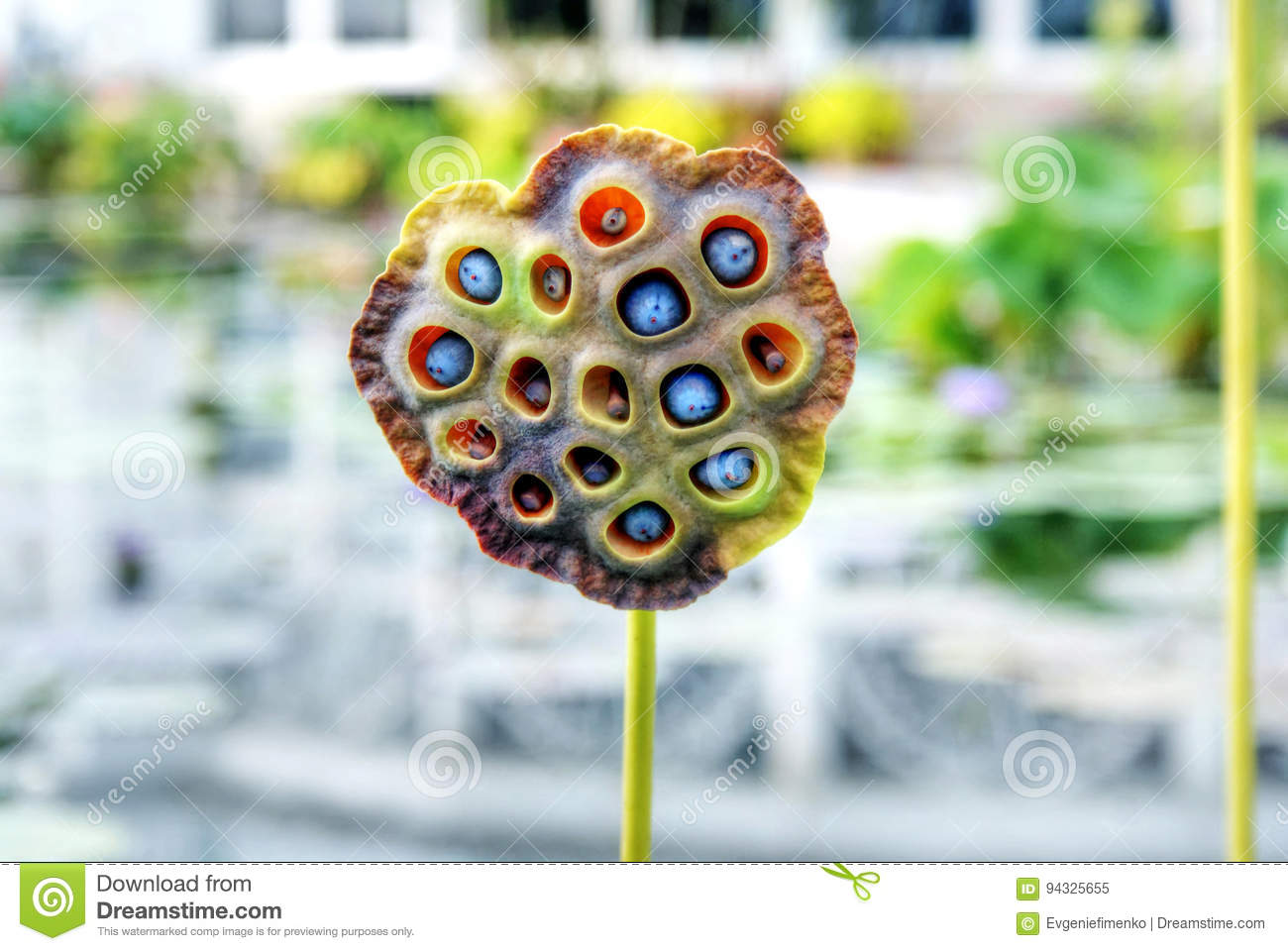close up view of water lily seed pod stock image image of botany