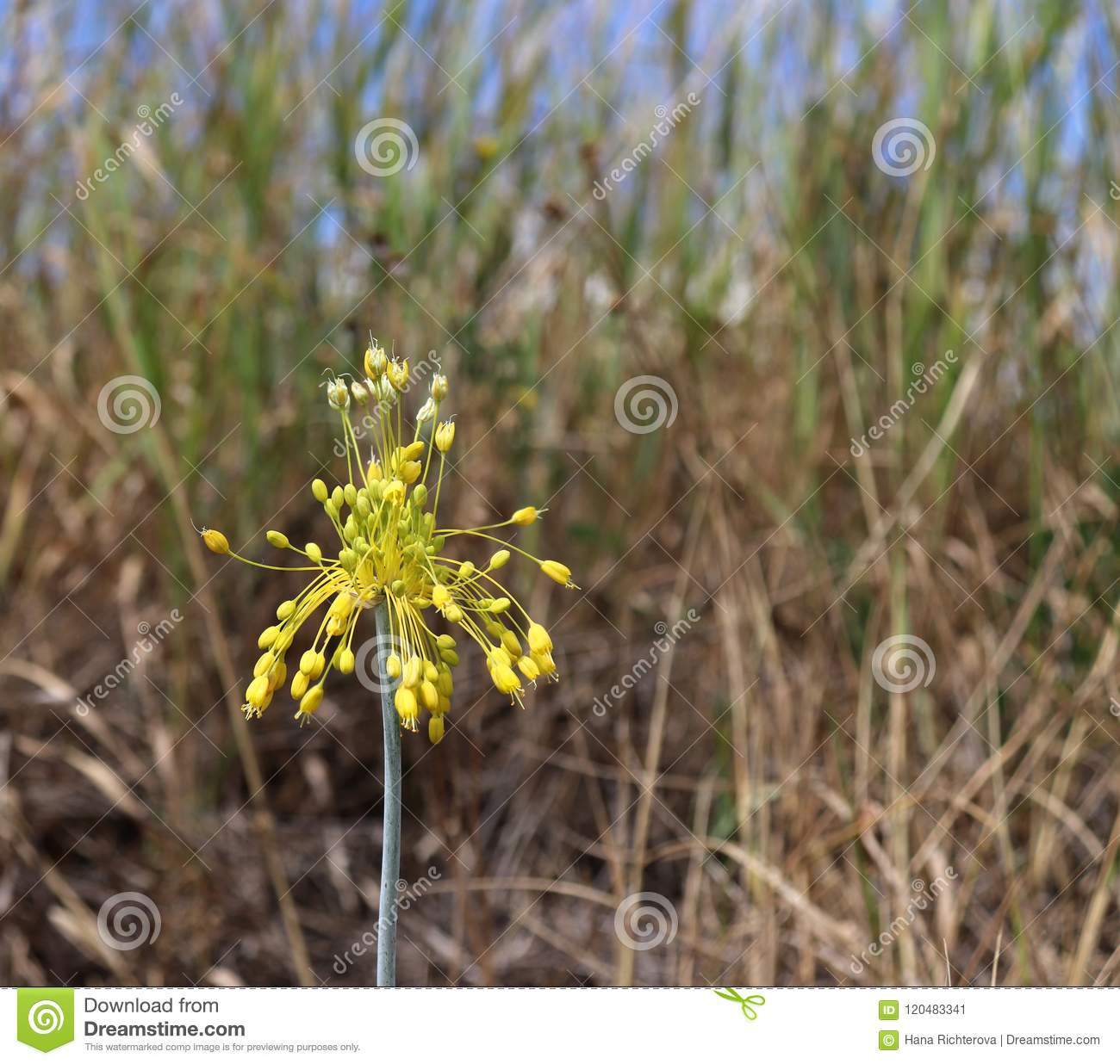 Close up view of yellow flower allium flavum on a meadow allium close up view of yellow flower allium flavum on a meadow allium flavum the small yellow onion or yellow flowered garlic is a species of flowering plant mightylinksfo