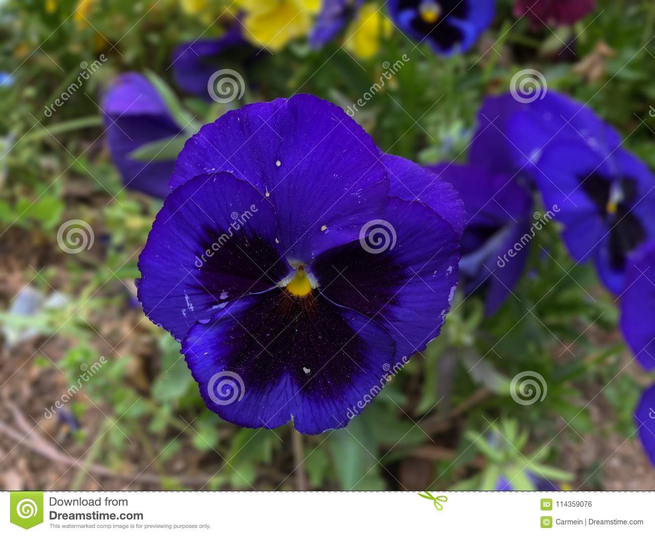 A Violet Flower To Think Stock Photo Image Of Deep 114359076