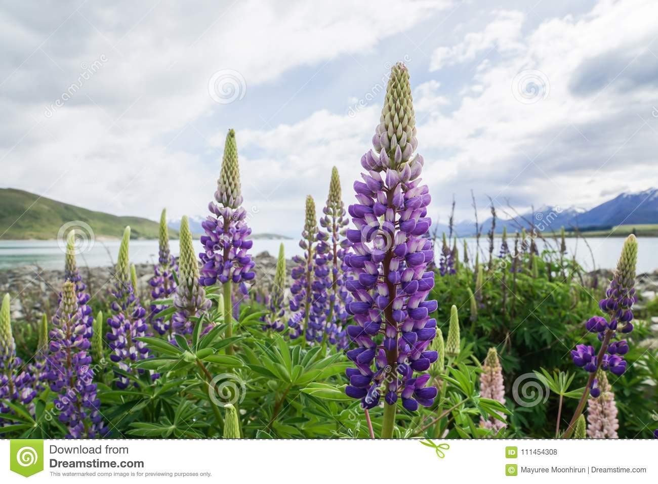 Violet Lupin Plant In Spring At Tekapo Lake In New Zealand In Cloudy