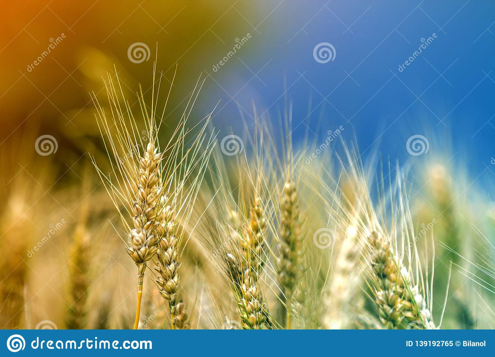 Close Up Of Warm Colored Golden Yellow Ripe Wheat Heads On