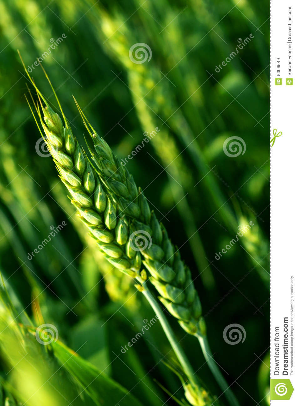 Download Close up of wheat stem stock image. Image of grassy, daytime - 5306549