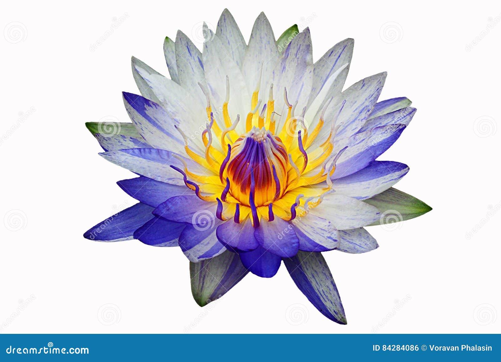 Blue lotus flower white background izmirmasajfo