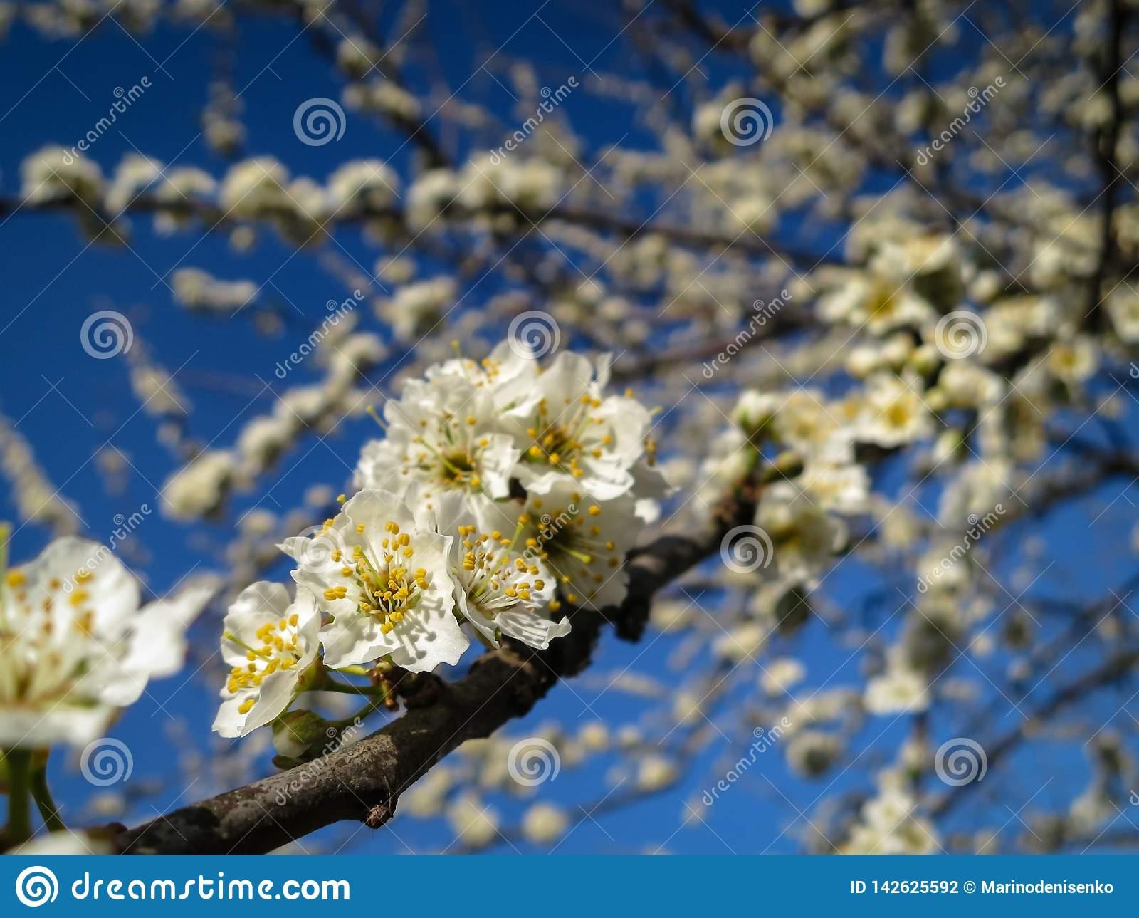 Close-up of white cherry plum flowers blossom in spring. A lot of white flowers in sunny spring day with blue sky