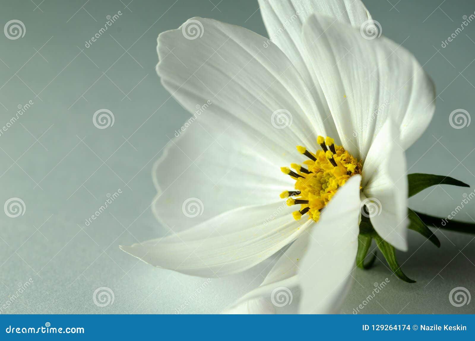 Close Up White Cosmos Flower On The Aqua Background Stock Photo