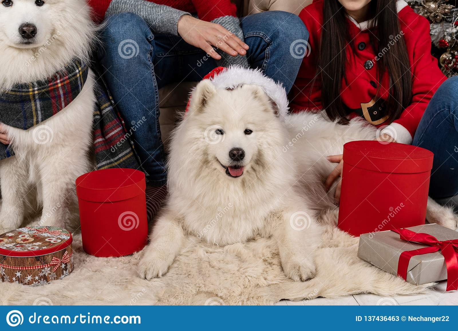 Close up of white cute samoed dogs in santa hat