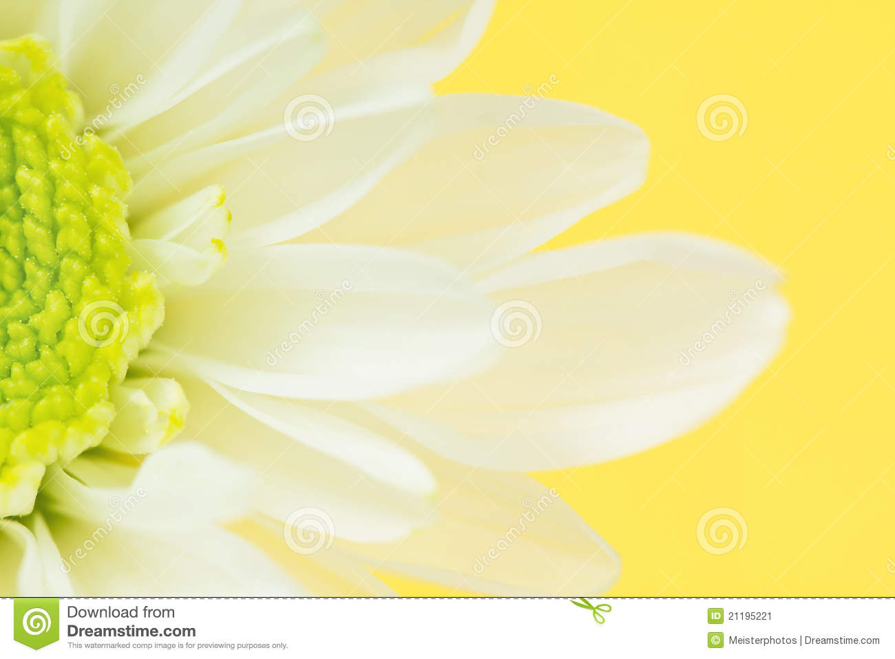 Close-up of White Daisy Flower on Yellow