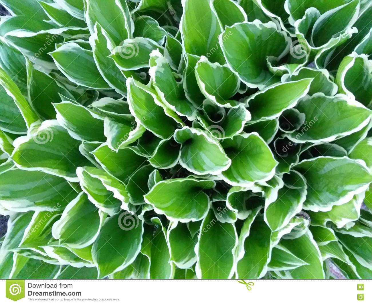 Close Up White Green Hosta Plants Leaf Stock Photo Image Of