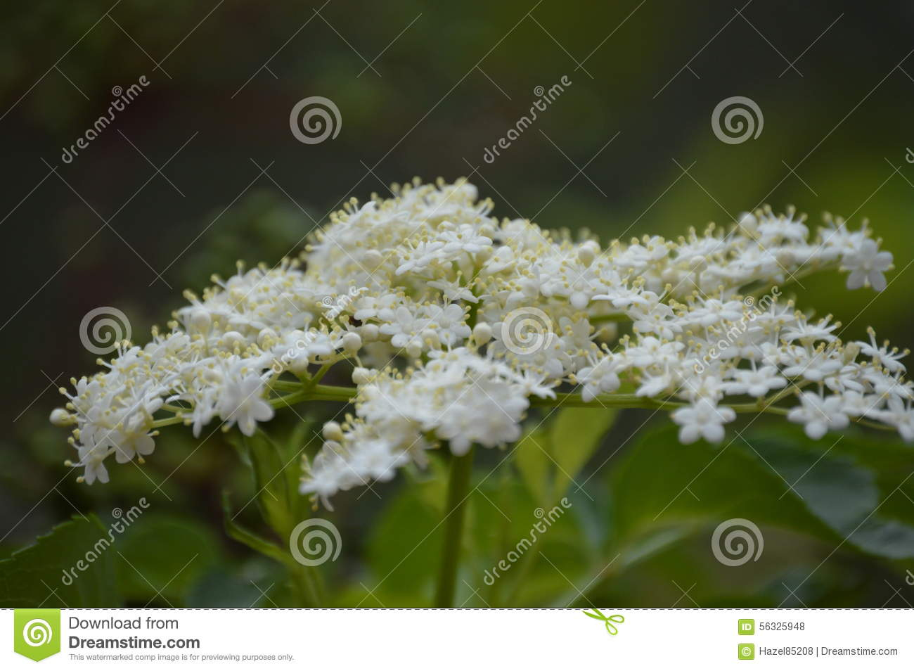 Close Up Of White Flower Cluster Stock Photo Image Of Floral