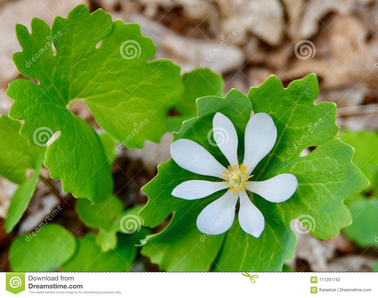 White Flower And Green Leaves Of Bloodroot Plant In Forest