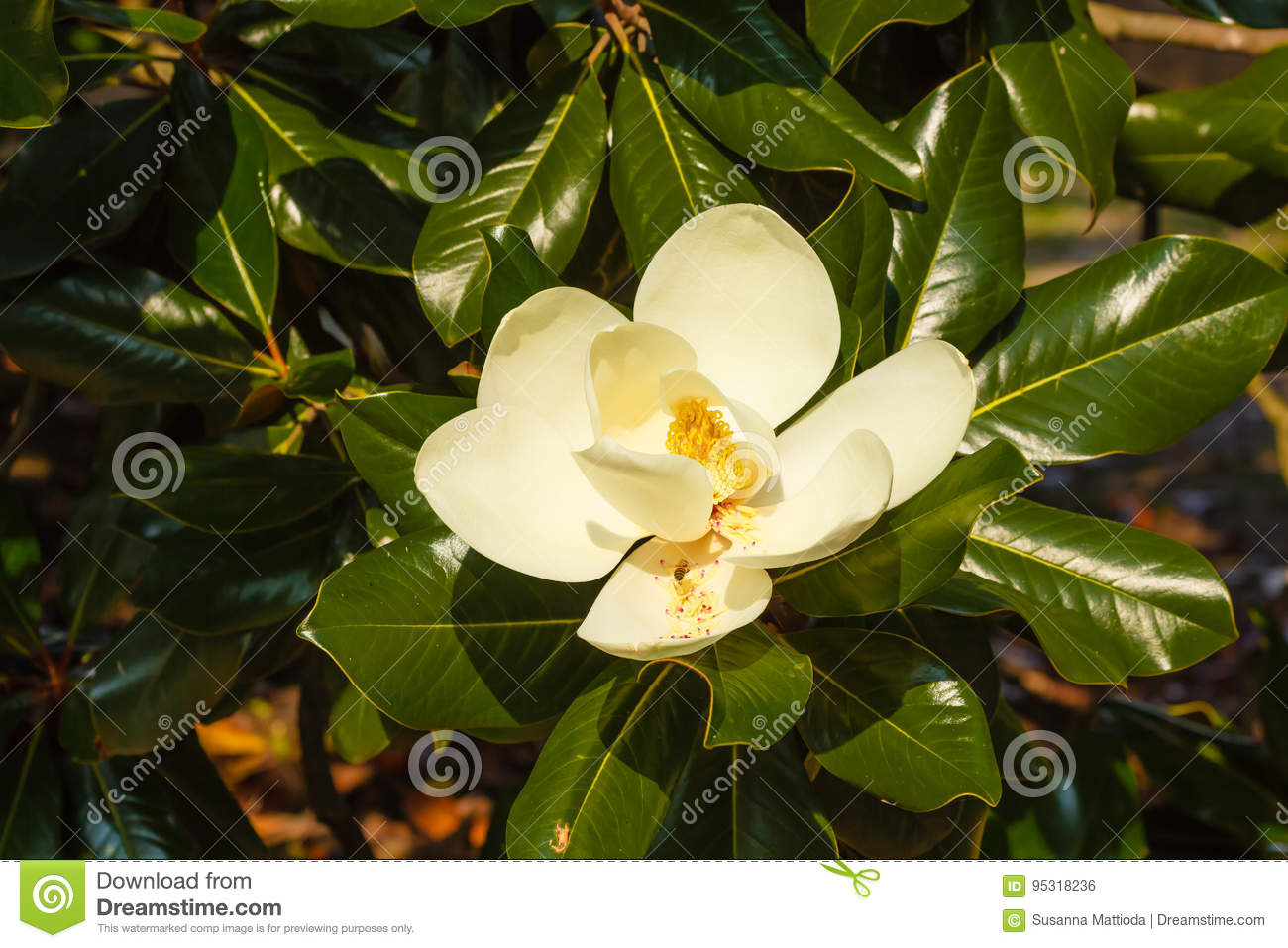 Close Up Of White Flower Of Magnolia Grandiflora With Its Pistol