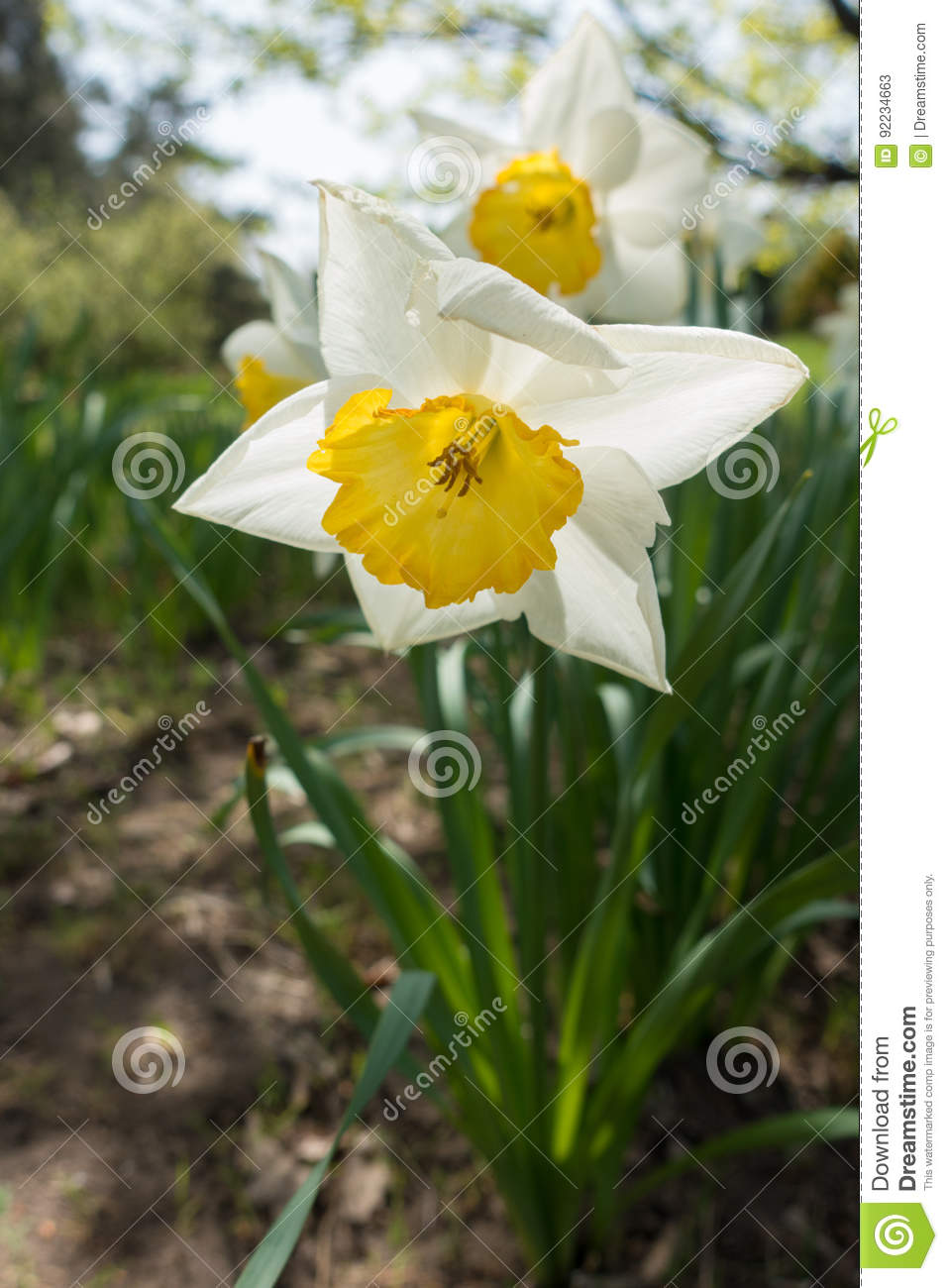 Close Up Of White Flower Of Narcissus With Yellow Trumpet Shaped
