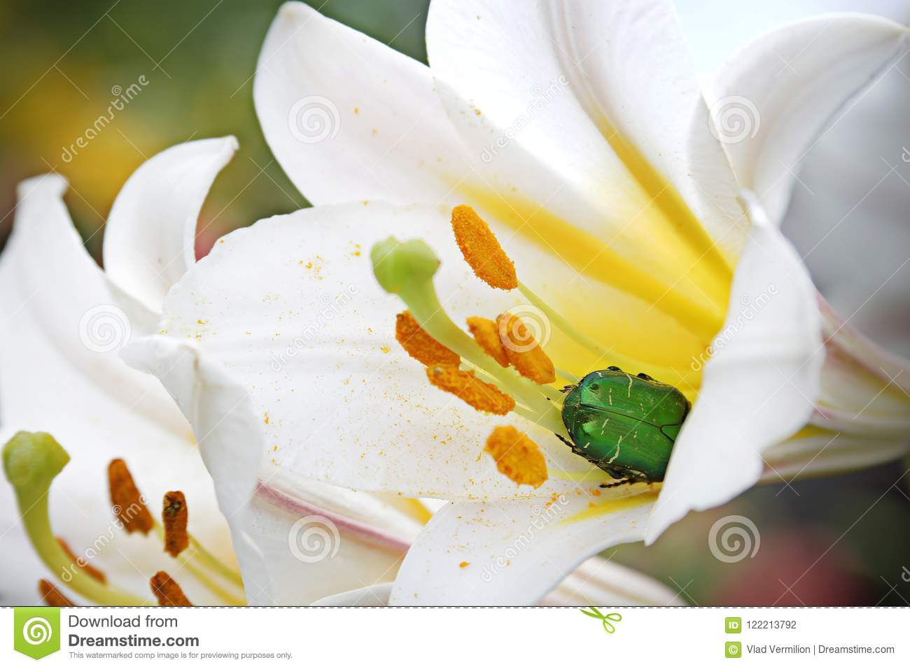 A White Flower With Yellow Middle And Green Bug Inside Stock Photo