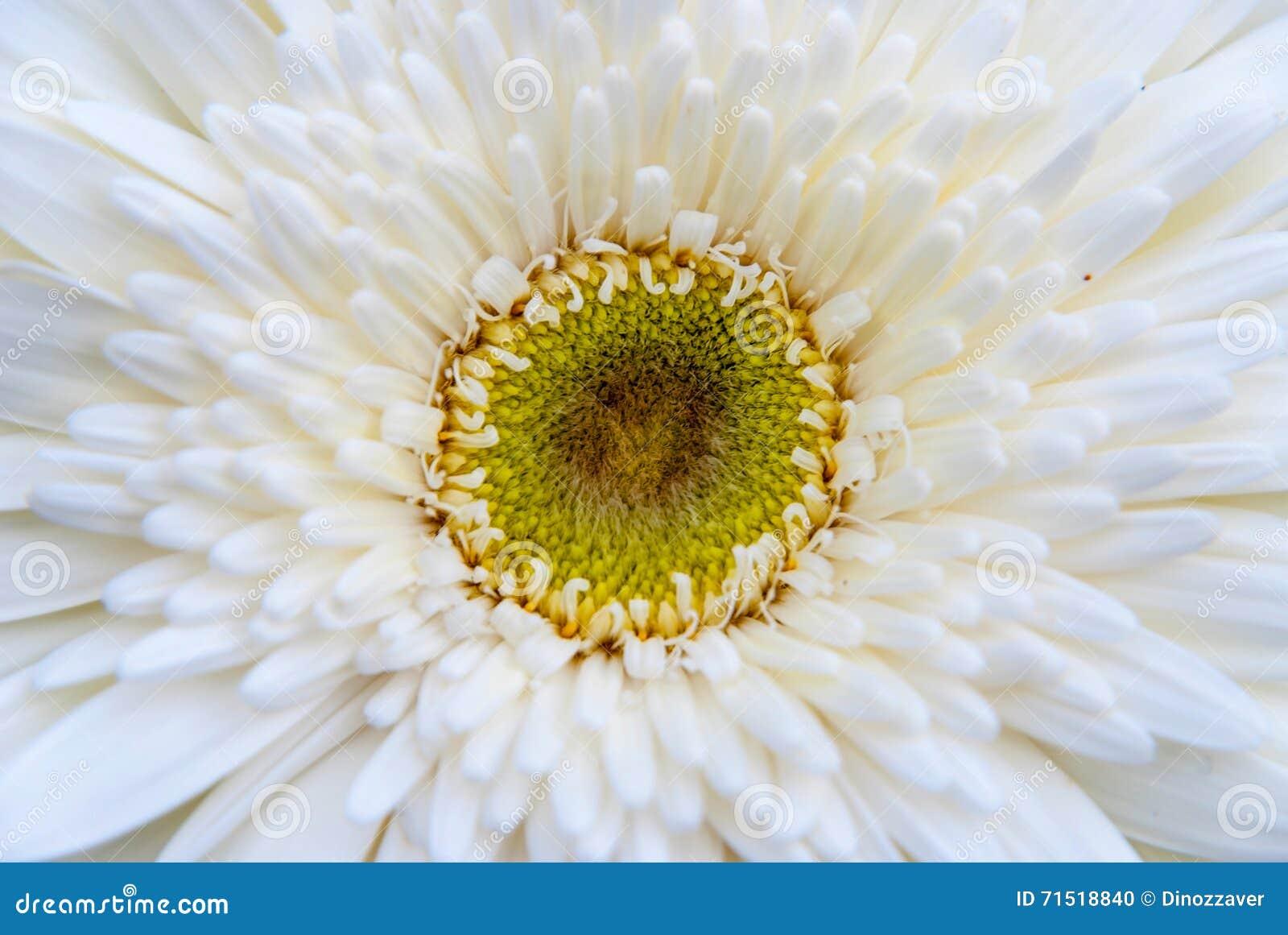 Close Up Of White Gerbera Flower Stock Photo Image Of Daisy