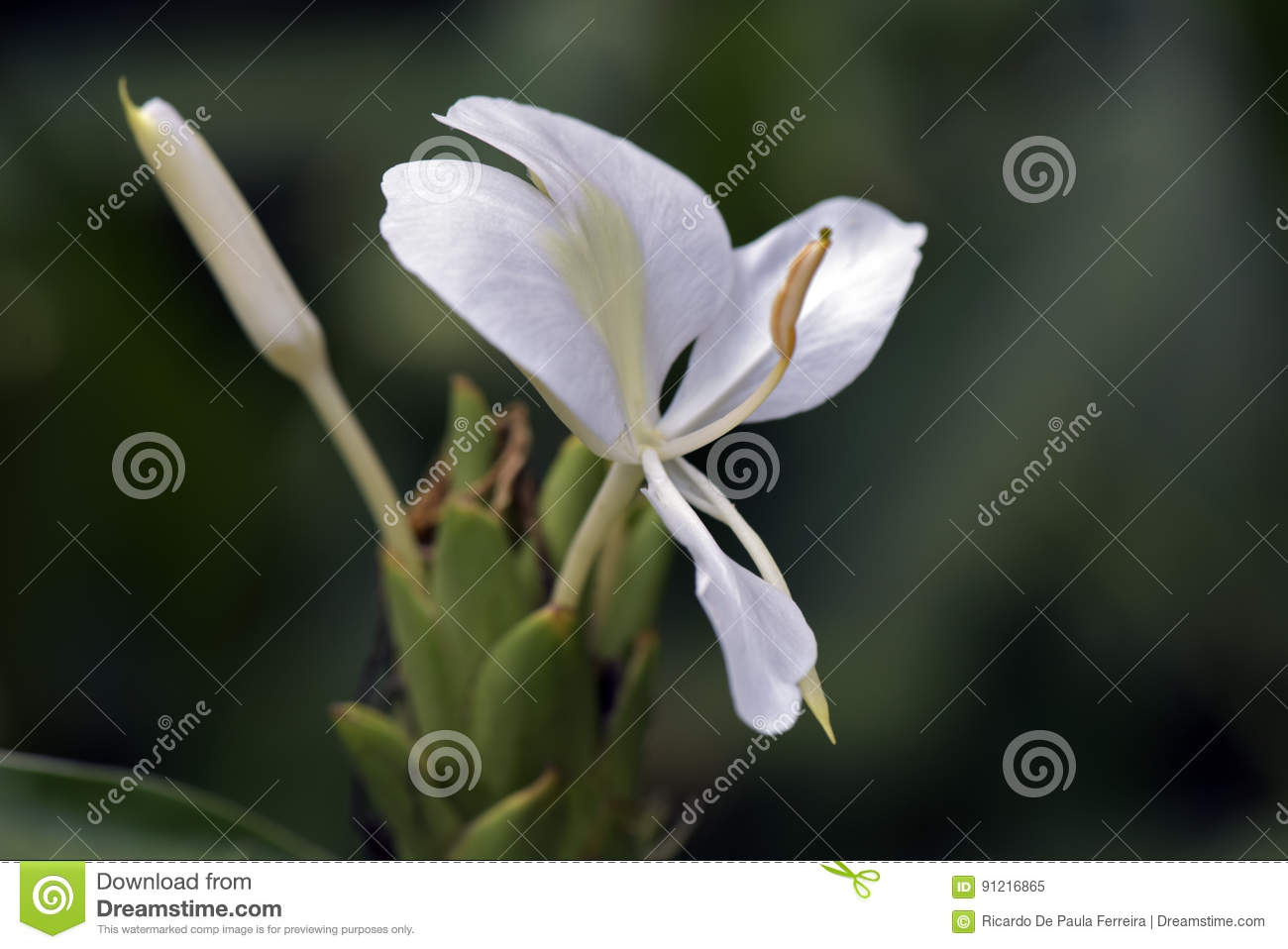 Close Up Of White Ginger Lily Stock Image Image Of Plant