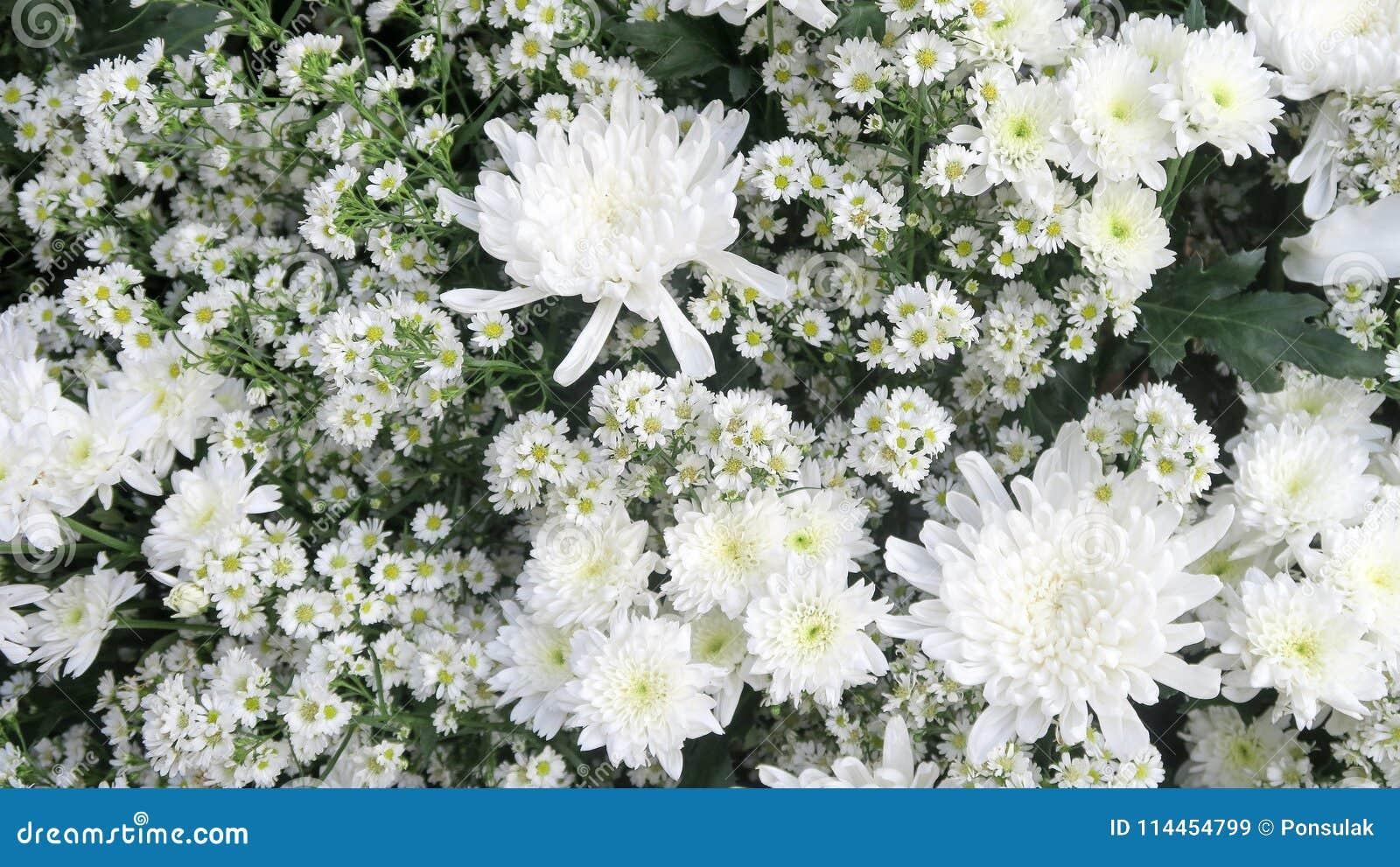 White Gypsophila Flower Stock Image Image Of Fragility 114454799