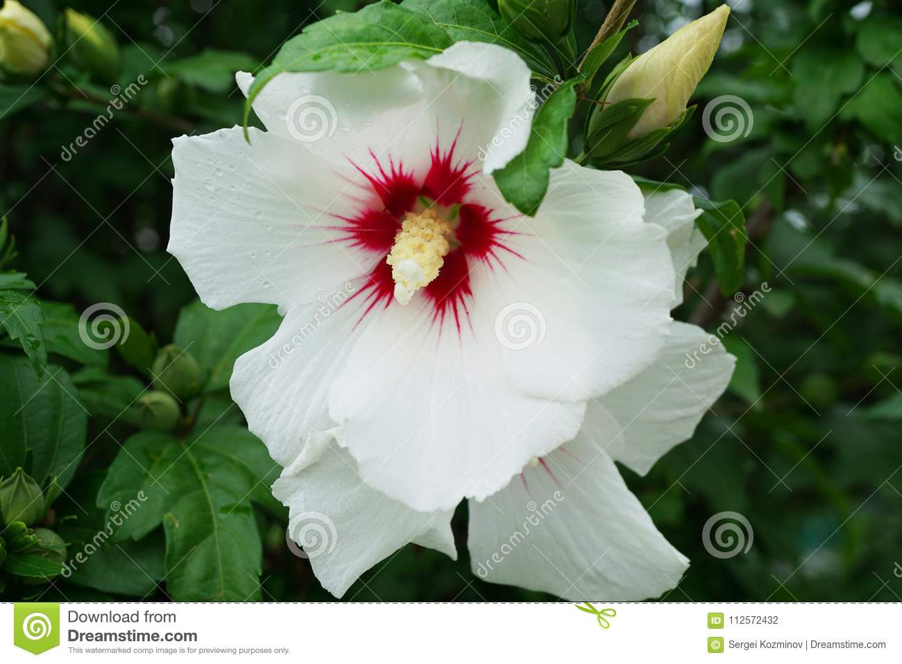 Close Up Of A White Hibiscus Flower Hibiscus Syriacus With Raspberry