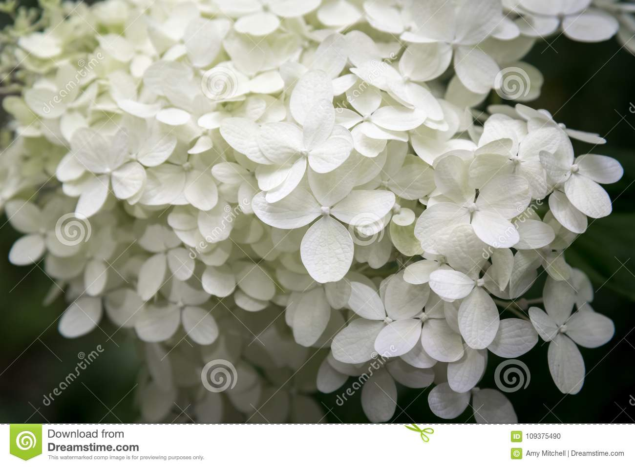 Delicate white petals of annabelle hydrangea on dark background royalty free stock photo izmirmasajfo
