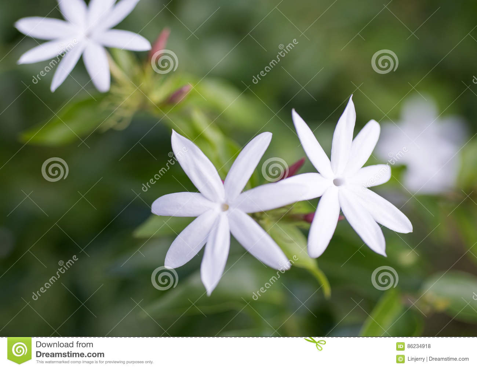 Close Up White Jasmine Flowers Stock Photo Image Of Flora