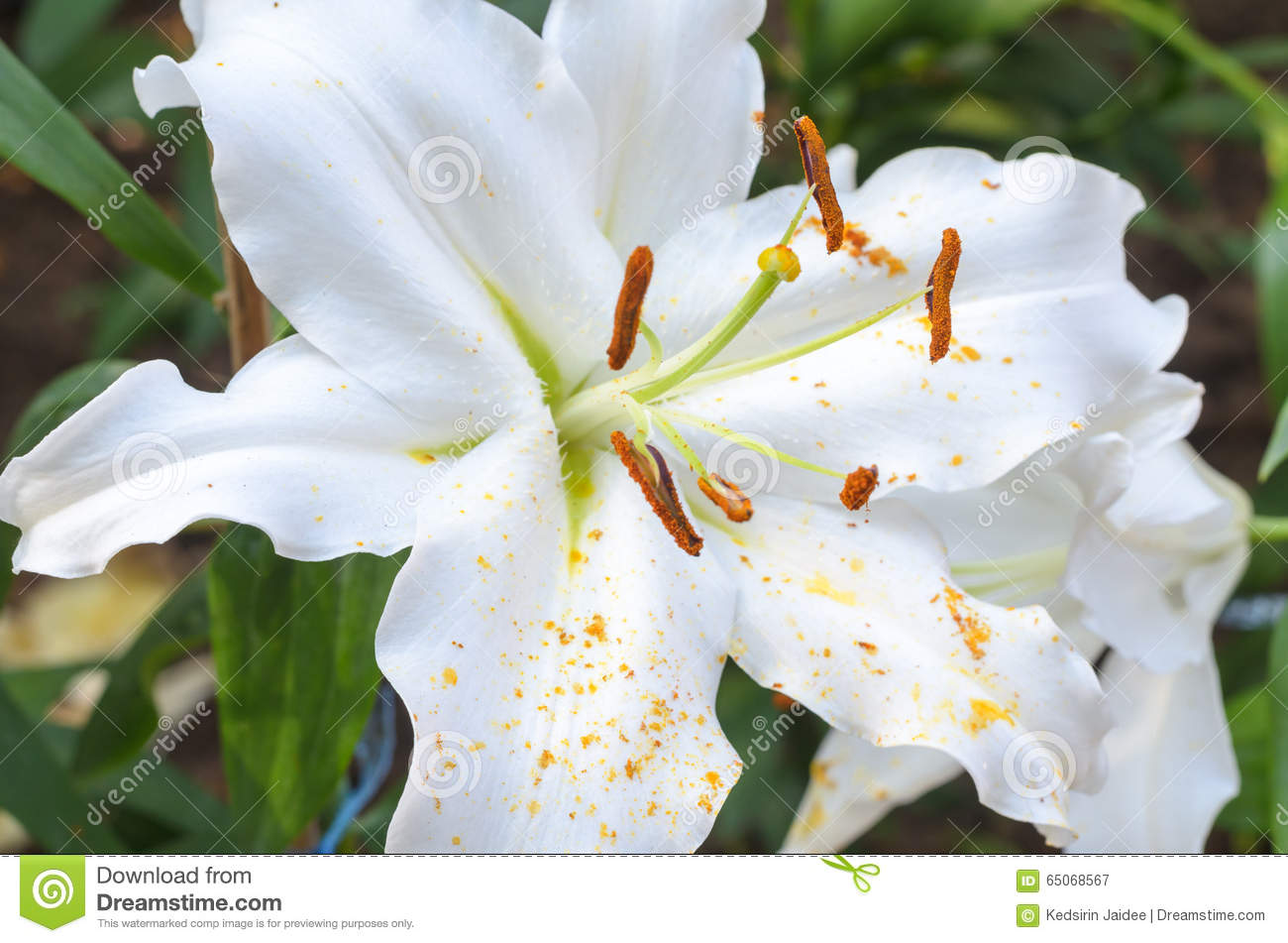 Close Up Of White Lilies Flower Stock Image Image Of Black Head