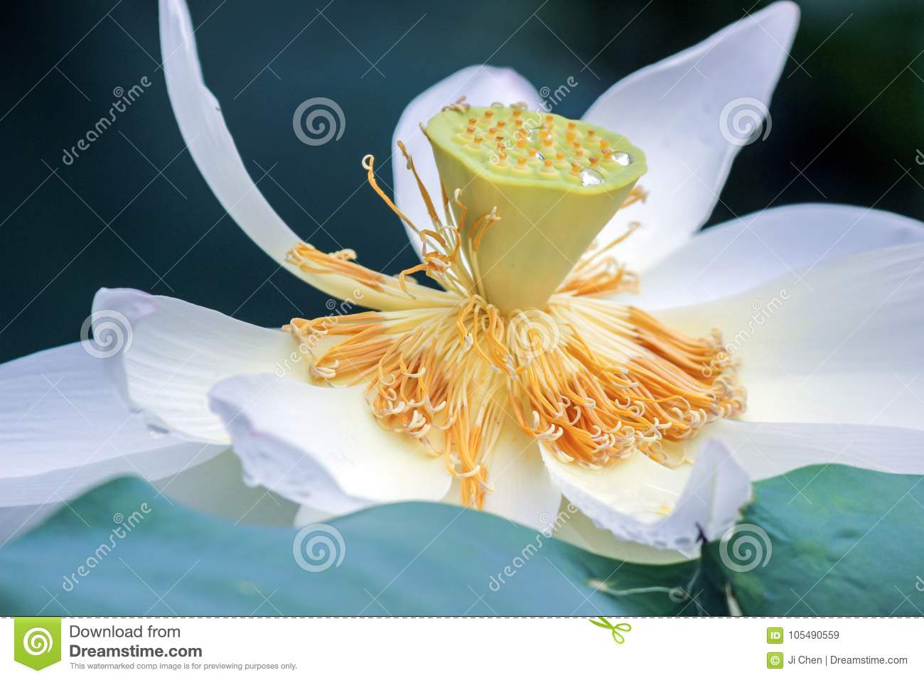 Close Up Of White Lotus Flower With Yellow Stamen Stock Image