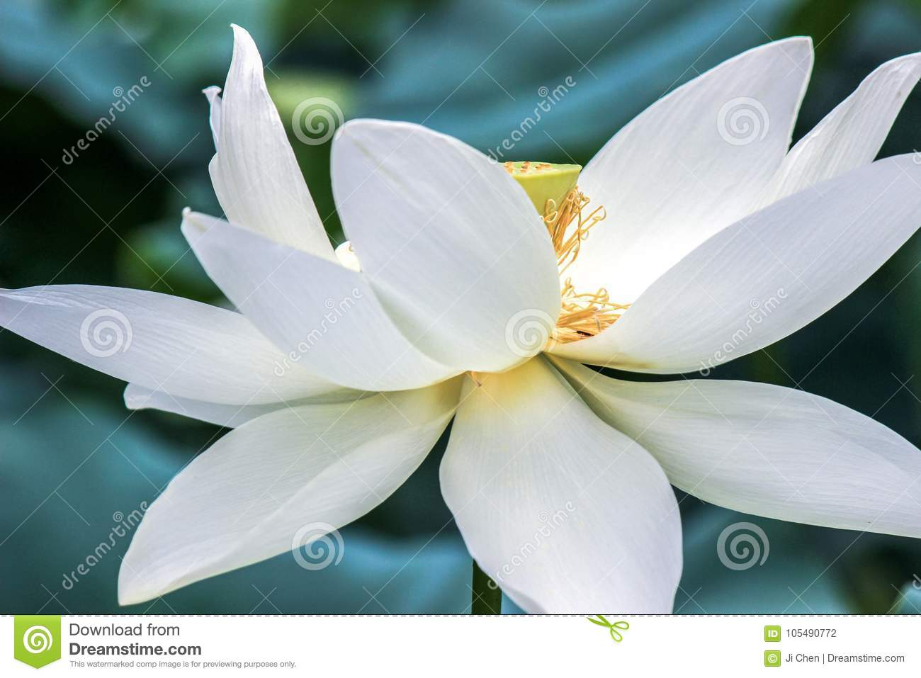 Close Up Of White Lotus Flower With Yellow Stamen Stock Photo