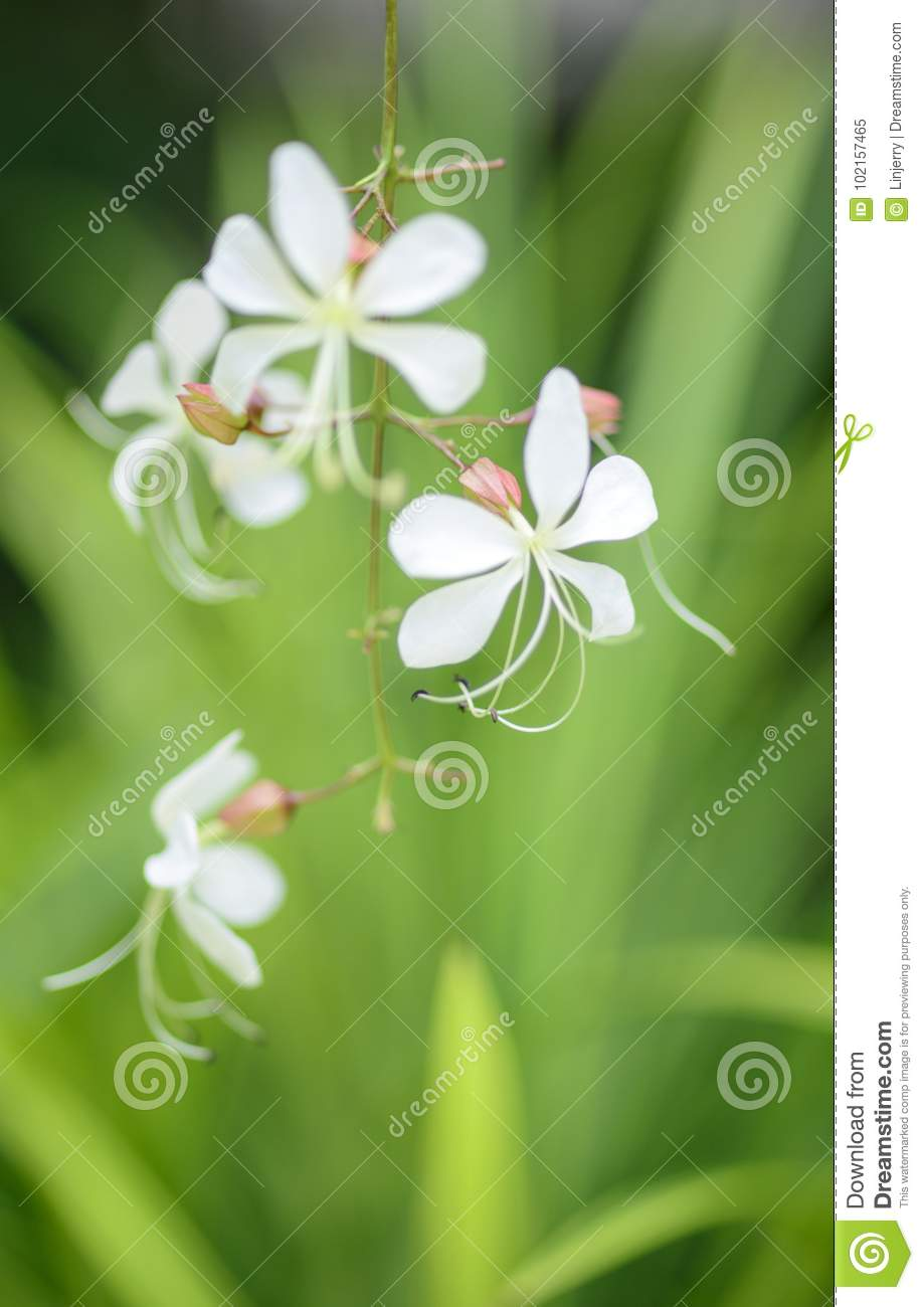 Closeup Lovely Tropical White Flowers Clerodendrum Wallichii Stock