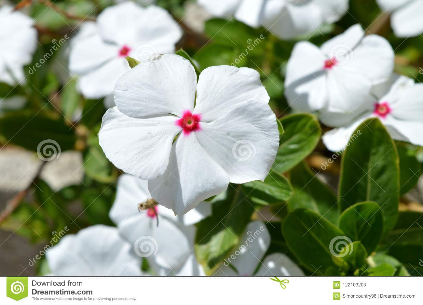 Close-up Of White Madagascar Periwinkle Flowers ...