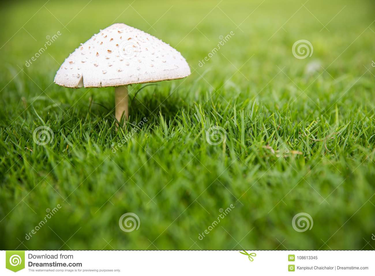 close up the white mushroom on the green grass backyard. natural