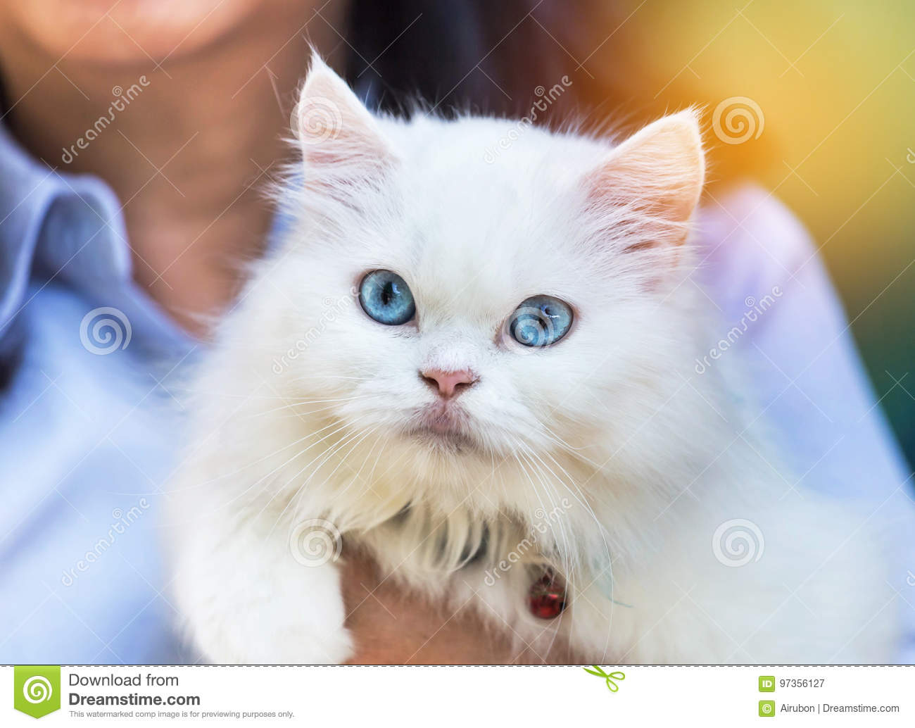 Close Up White Persian Cat Looking With Blue Eyes Stock Image Image Of Cute Beauty 97356127