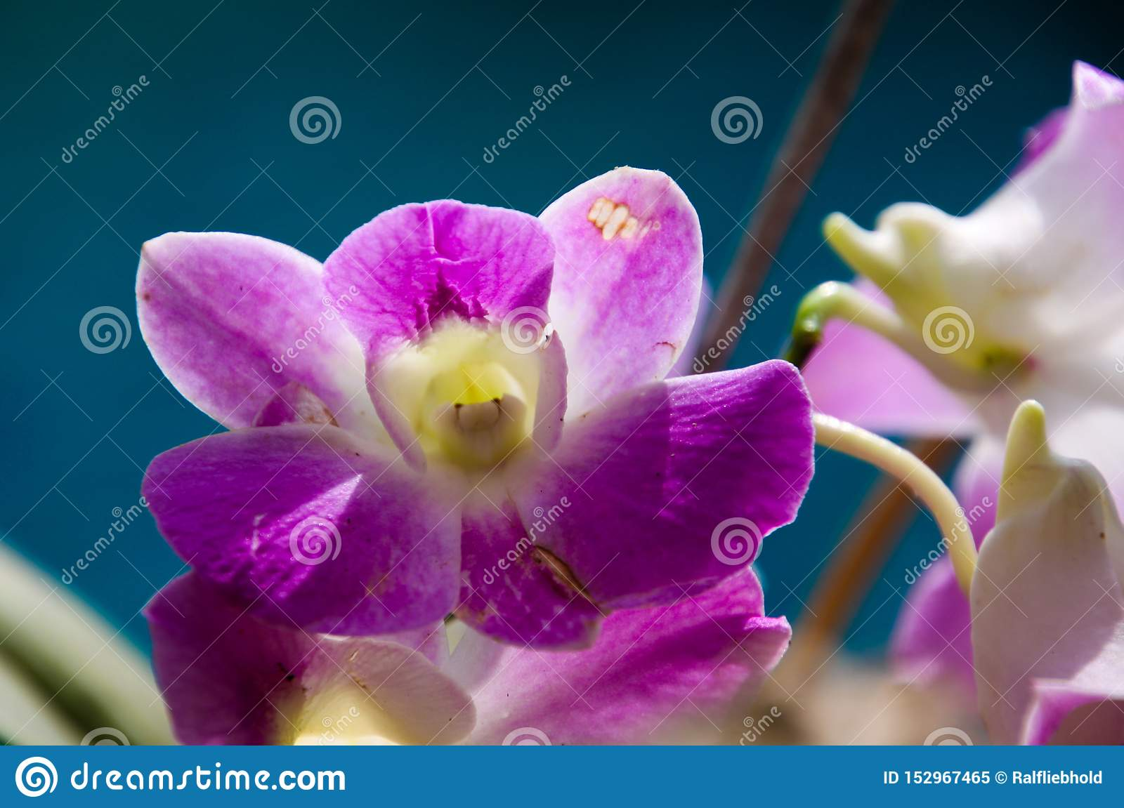 Close up of white and pink dendrobium orchid, Chiang Mai, Thailand