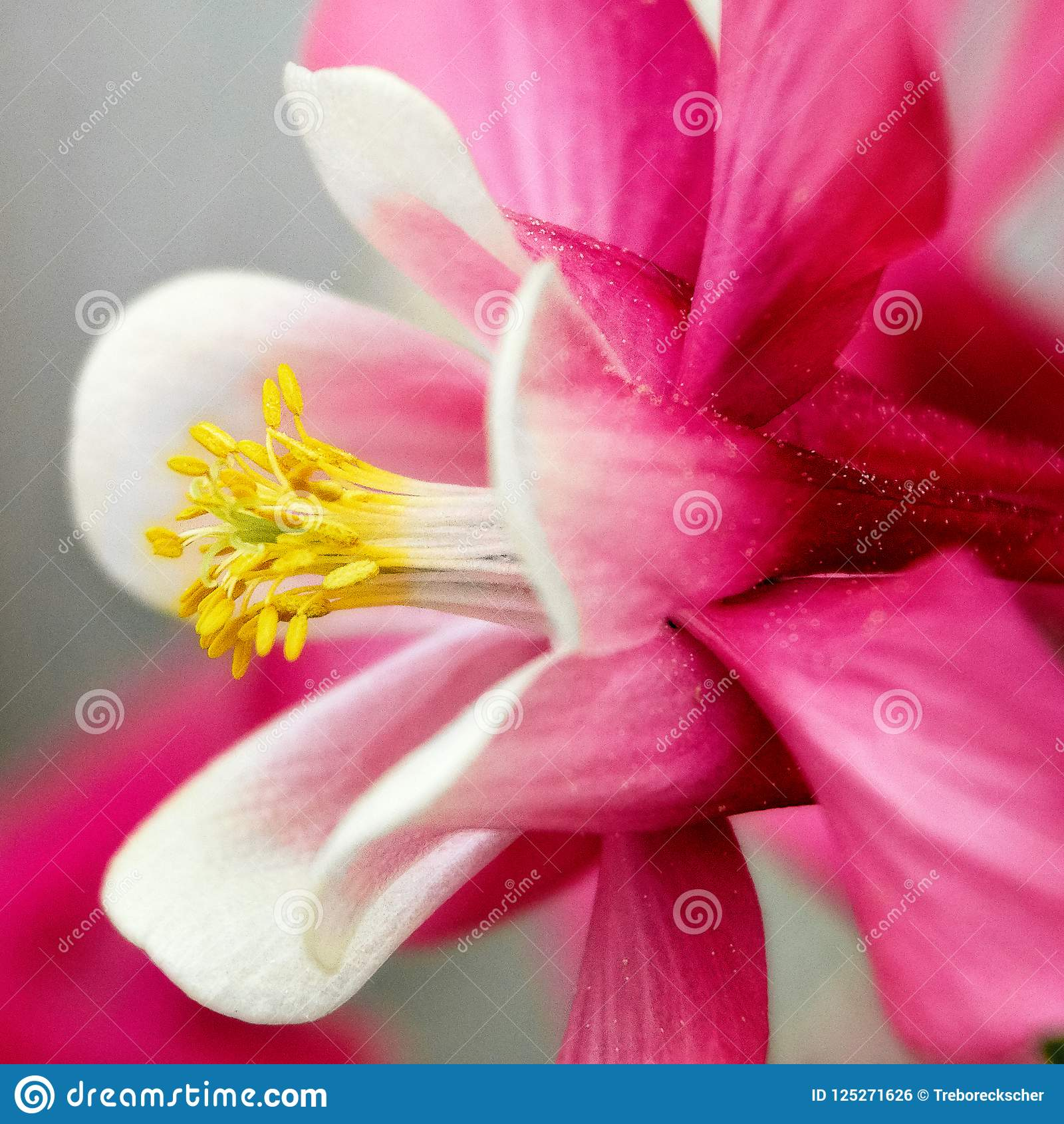 Close Up Of A White And Pink Lily Flower Stock Photo Image Of