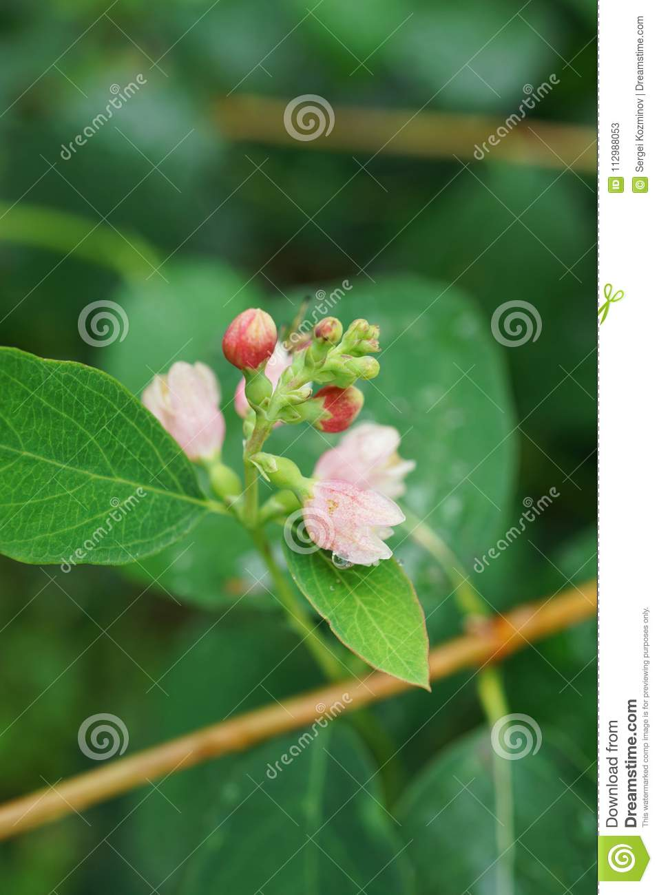 Close-up of white and pink snowberry flowers Symphoricarpos albus on a branch in an alley in the foothills of the Caucasus