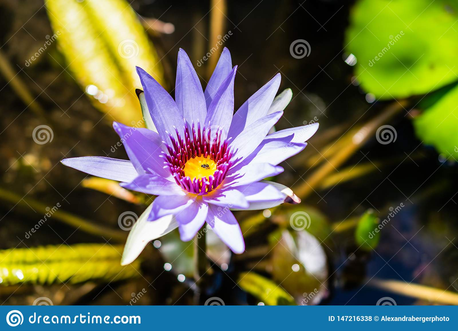 Open water lily with little fly inside the blossom