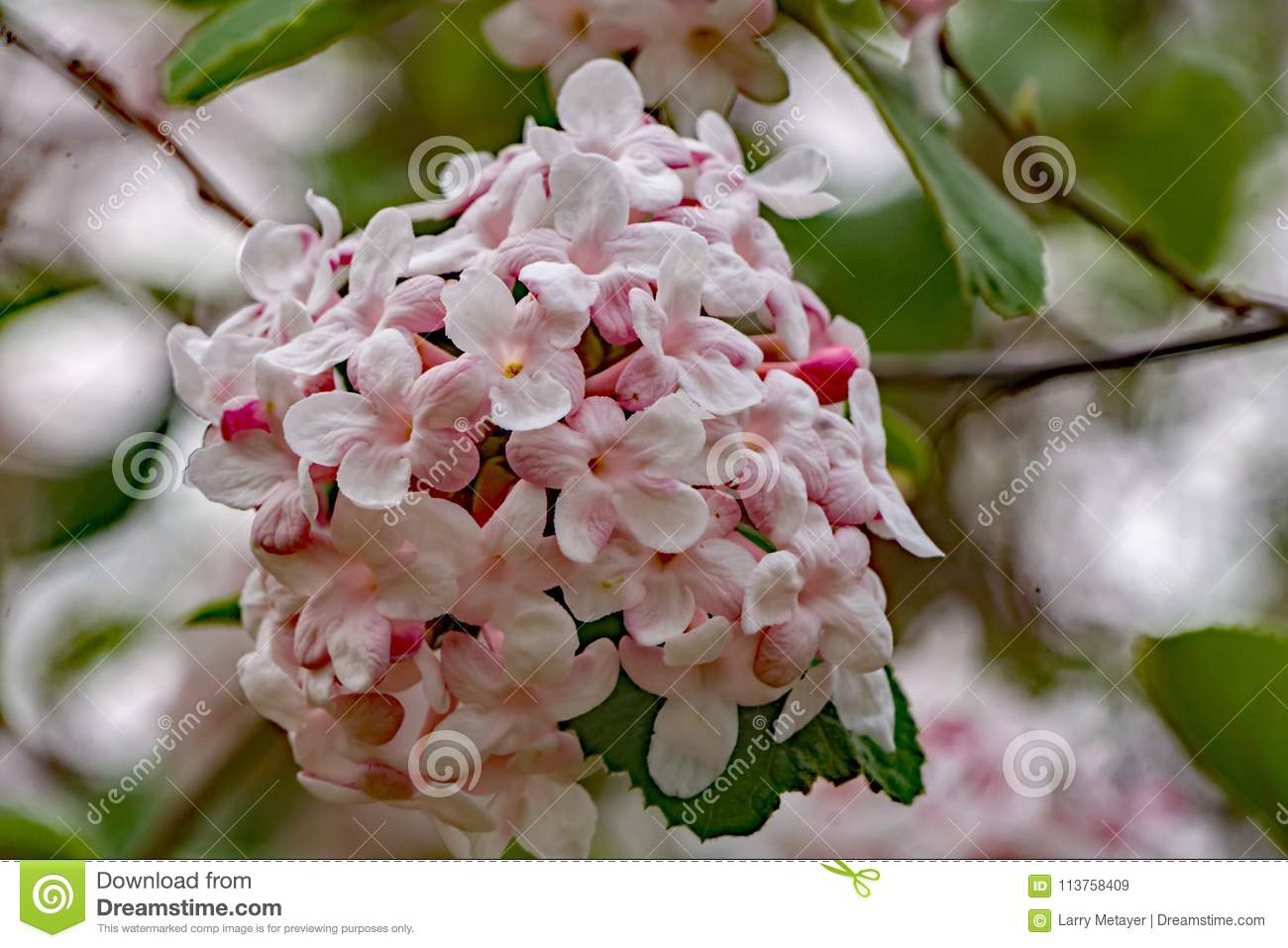 Close Up Of A White Snowball Flowers Viburnum Carlesii Stock Image