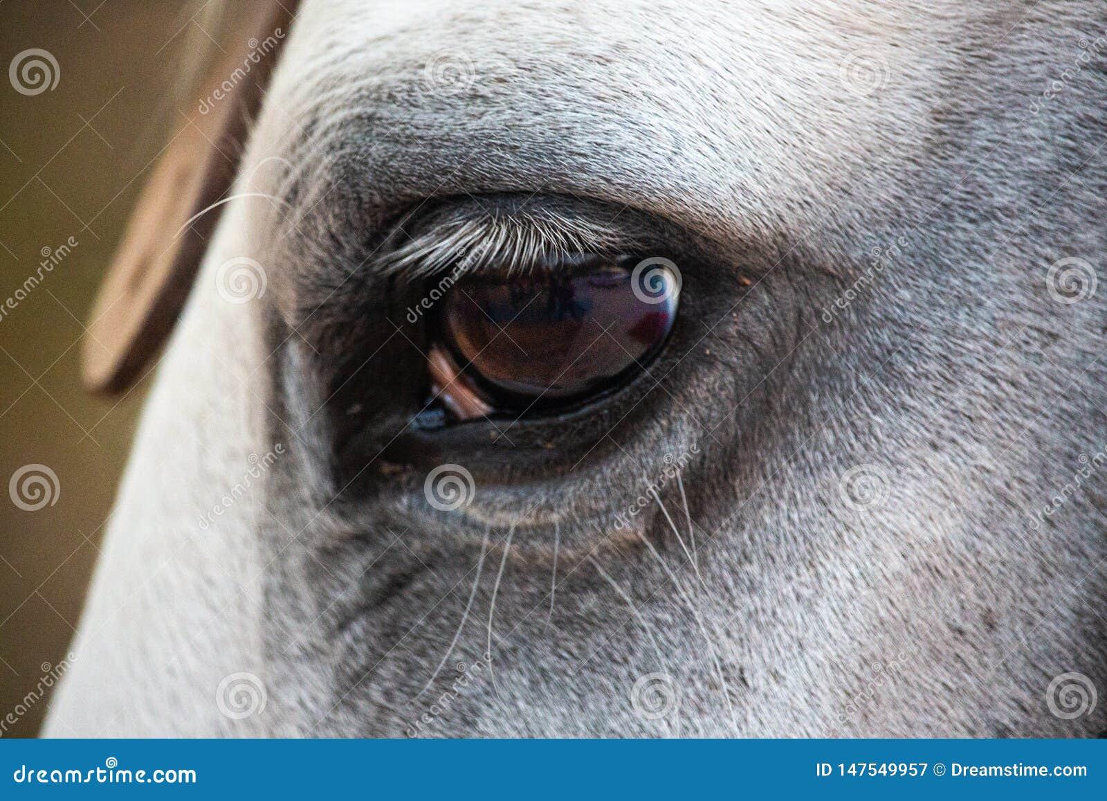 Close up of a white stallion horse`s eye
