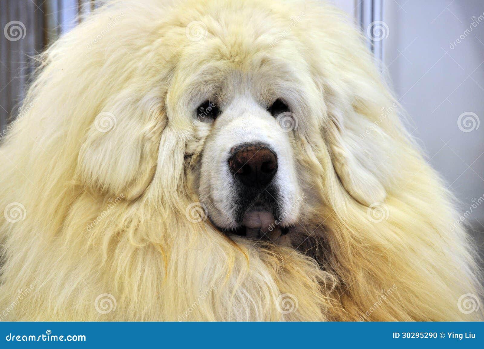 White Tibetan Mastiff Stock Photo - Image: 30295290