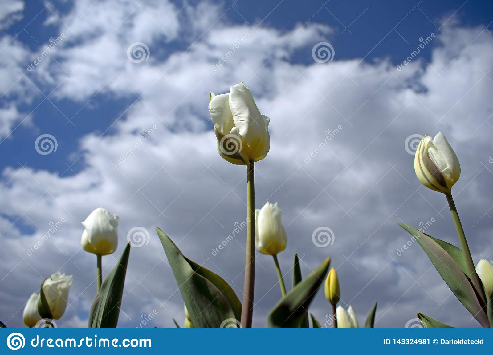 Close up of white tulip flowers