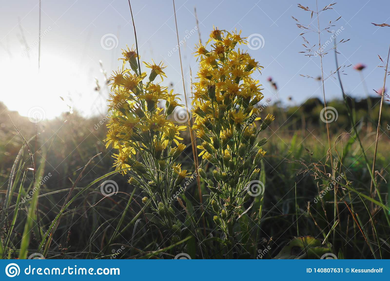 Close up of a wild Goldenrod on a sunny summer day in Germany