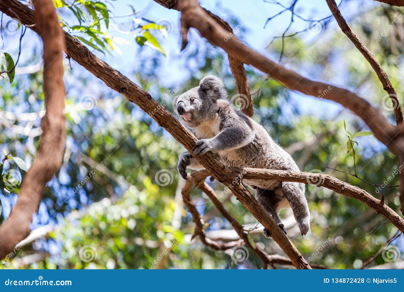 Close up of wild Koala Bear